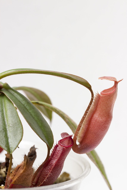 Nepenthes vieillardii BE