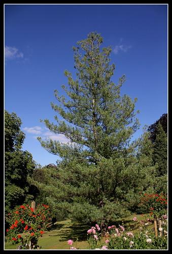 Pinus strobus (1)