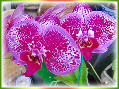 Captivating spotted Phalaenopsis Orchid at a garden nursery, 4th Feb 2016