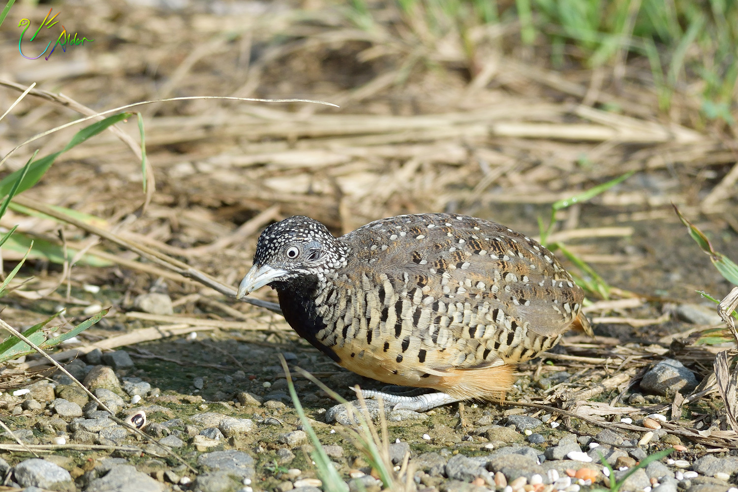 Barred_Buttonquail_1125
