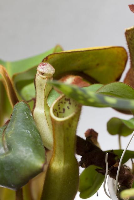 Nepenthes clipeata Clone U