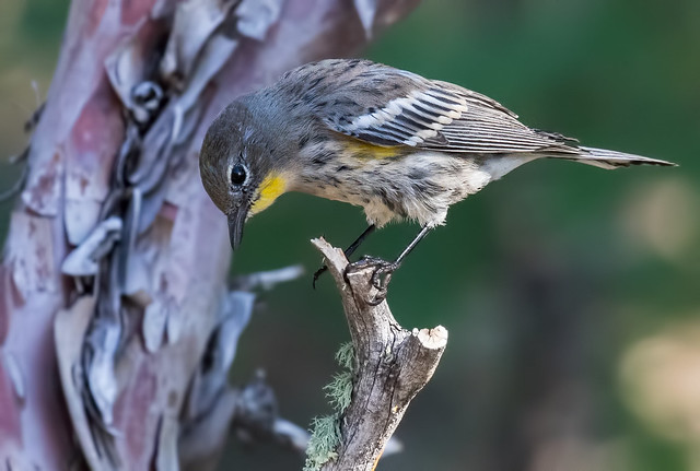 Yellow-rumped-Warbler-3B-7D2-130816
