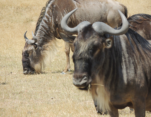 Tanzania Safari, Wildebeests