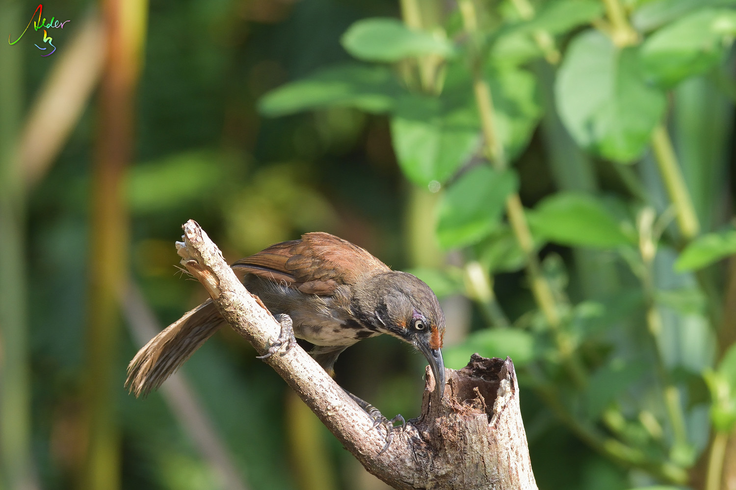 Rusty-cheeked_Scimitar_Babbler_4557