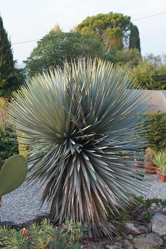 Yucca rostrata 29555129051_eae8bb9a4d