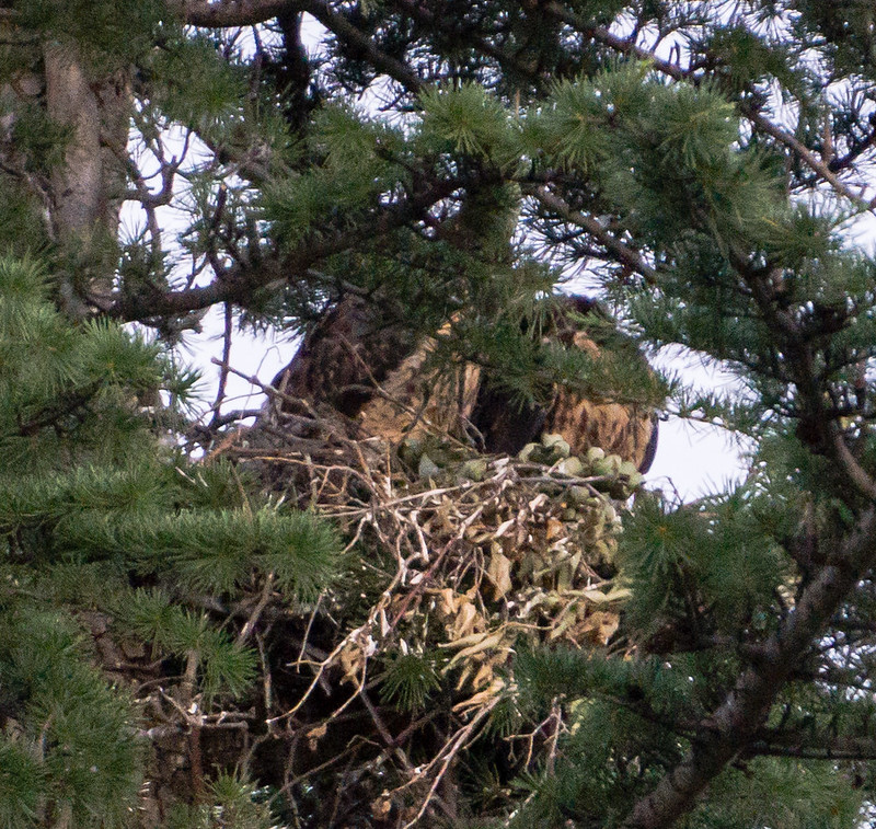 Pair of Swainsons Hawks Chicks