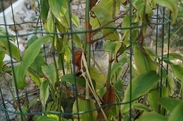 Porandra scandens (= Porandra microphylla) (N0755) ? 28669286035_3990f2294d_z