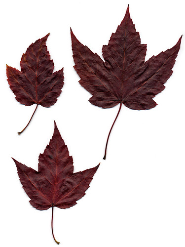 scan of dark red maple leafs