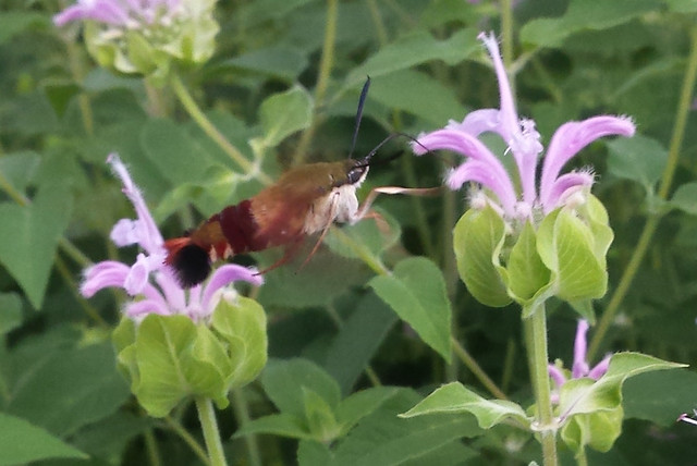 hummingbird clearwing at the left of a bee balm, a little farther away but reaching its front foot to touch the flower