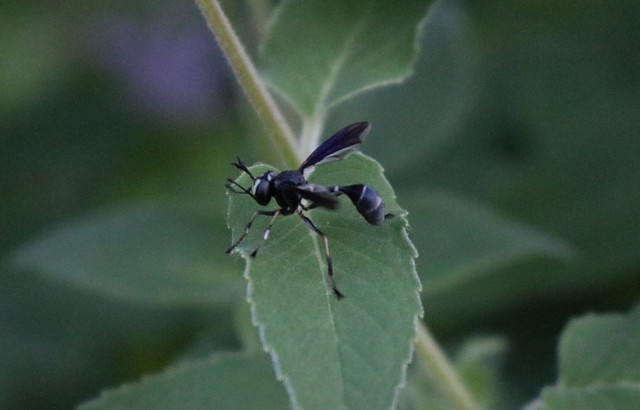 side view of a thin black insect facing to the left, with a white bands on waist and two on abdomen