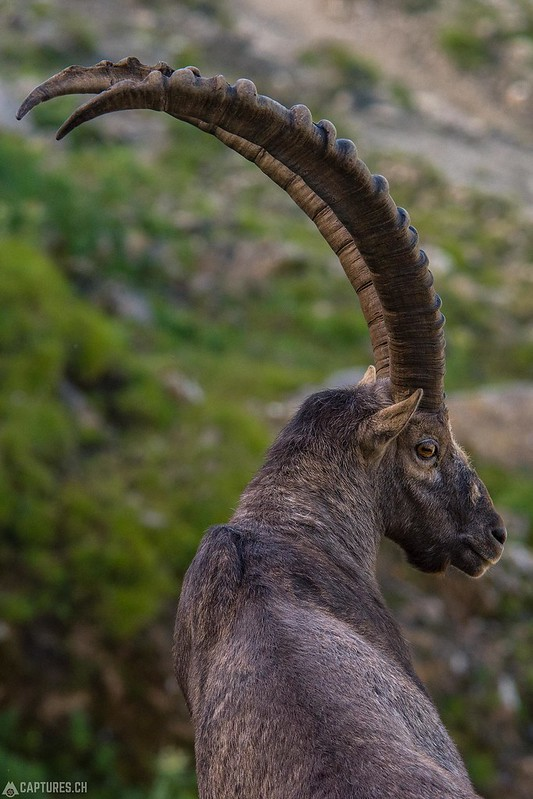 Alpine Ibex 1 - Brienzer Rothorn