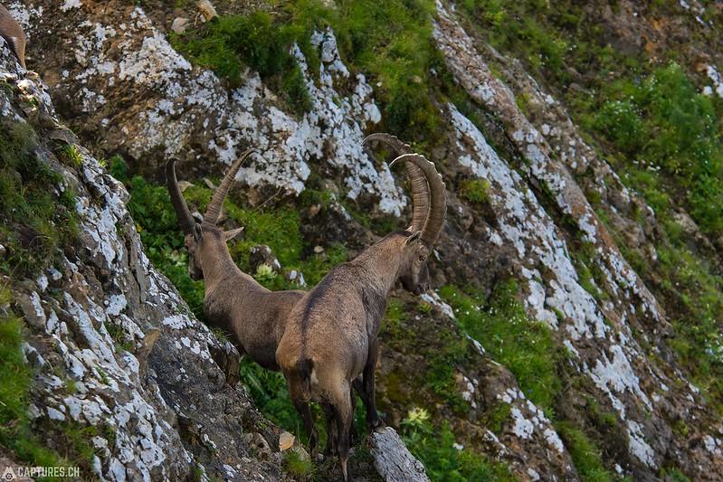 Alpine Ibex 2 - Brienzer Rothorn