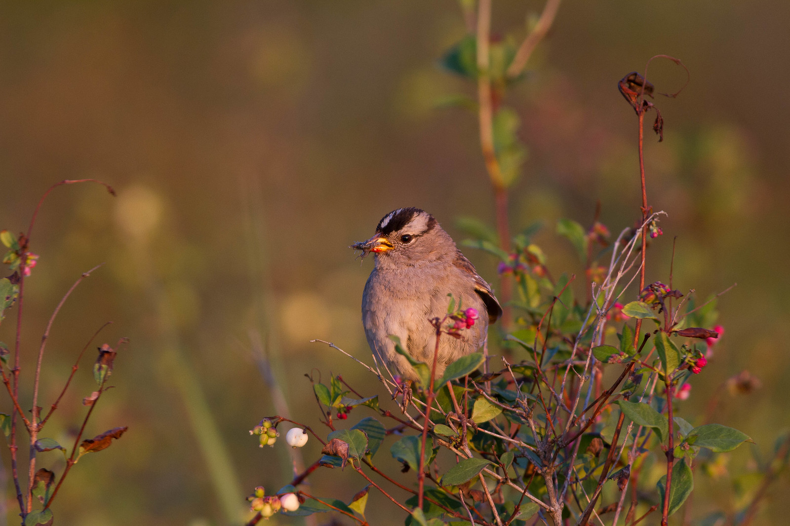 White-crowned Sparrow (Pugatencis ssp)