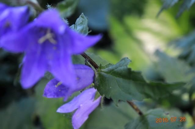 Vous avez une idée du nom de cette fleur ???? - TROUVÉ`: Campanula rapunculoides l'envahissante 28617407195_281d19527d_z