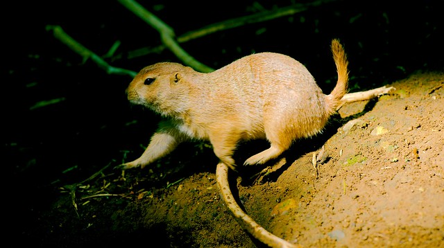 Black Tailed Prairie Dog_8