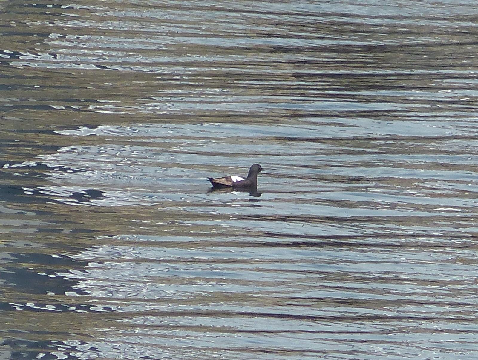 Pigeon Guillemot, Ogden Pt. Breakwater, Victoria, BC, 8-6-16, M. Long (10)