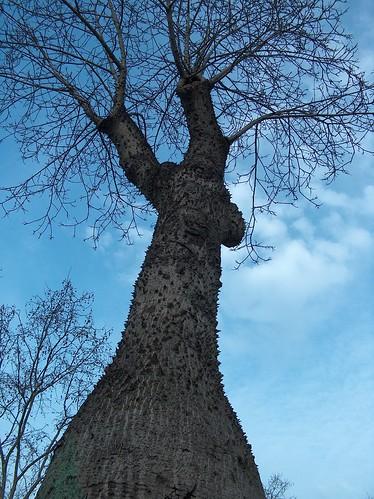 Ceiba speciosa (= Chorisia speciosa) 28350429355_fbc6b28d06