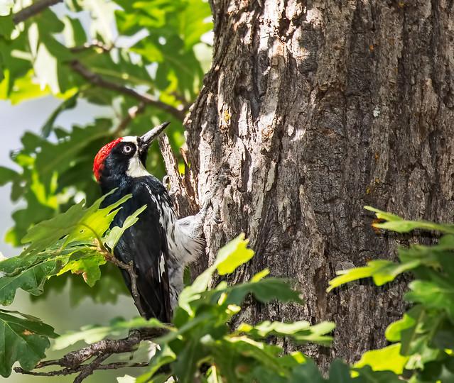 Acorn-Woodpecker-1-7D2-080816