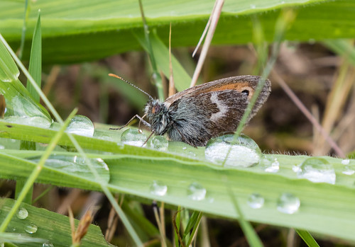 small heath butterfly drinking051 (257)