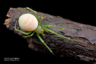 Orb web spider (Araneus sp.) - DSC_9380