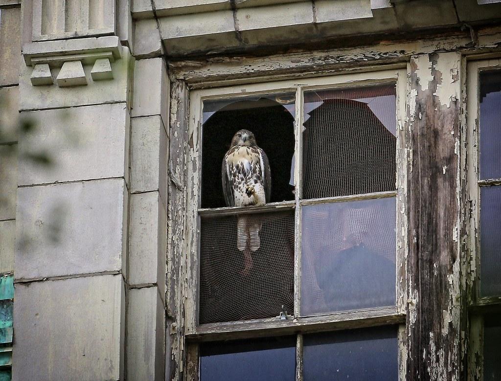 Fledgling hawk visits CHARAS