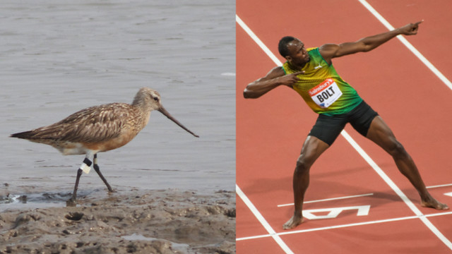 bolt-v-bt-godwit