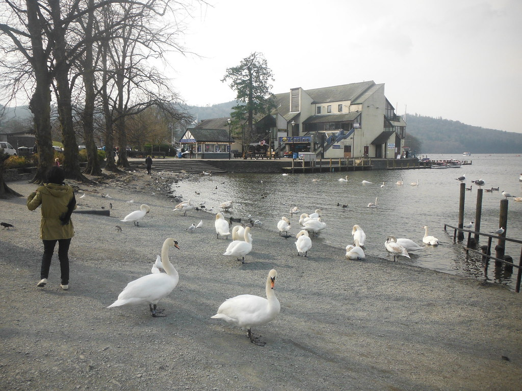 Bowness Swans 4