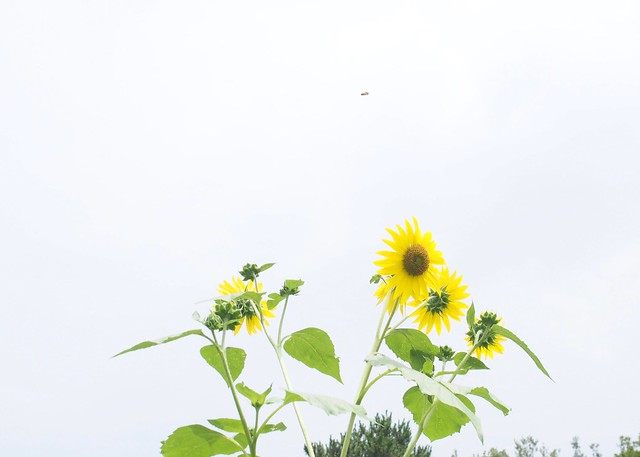 Sunflower2016