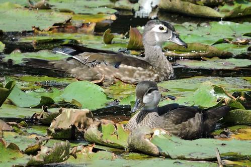 Wood Duck #96