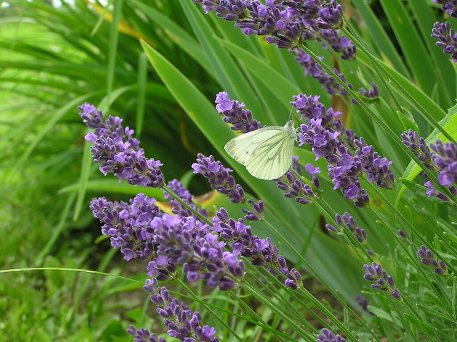 Pieris rapae on Lavendula angustifolia 'Aromatico Blue'