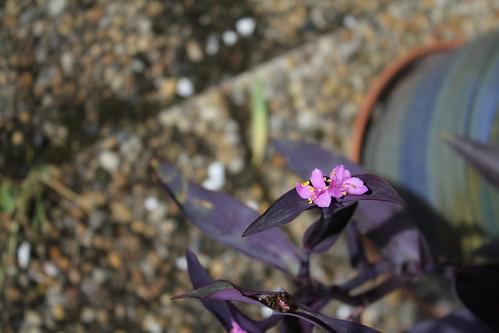 Setcreasea pallida (4)