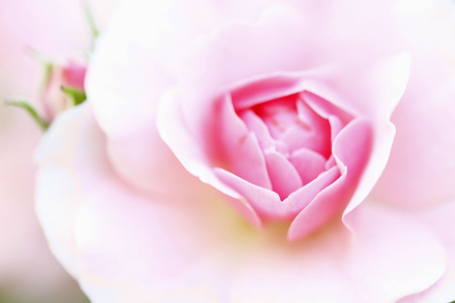 Dreamy Pink Rose