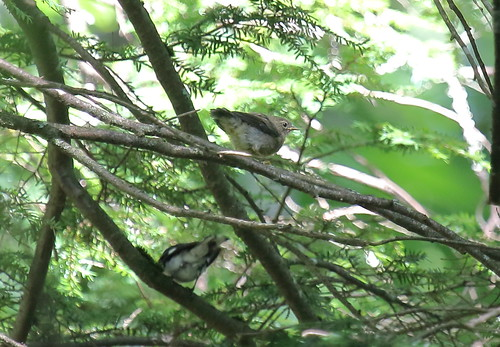 Black throated Blue Warbler Fledgling and adult male 7-10-16 Reddish Knob 924