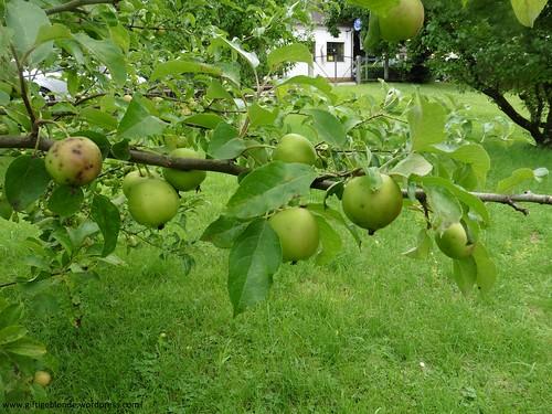 Äpfel im Werden