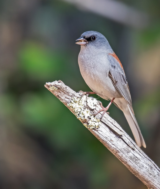 Dark-eyed-Junco-(Red-Back)-4-7D2-091616
