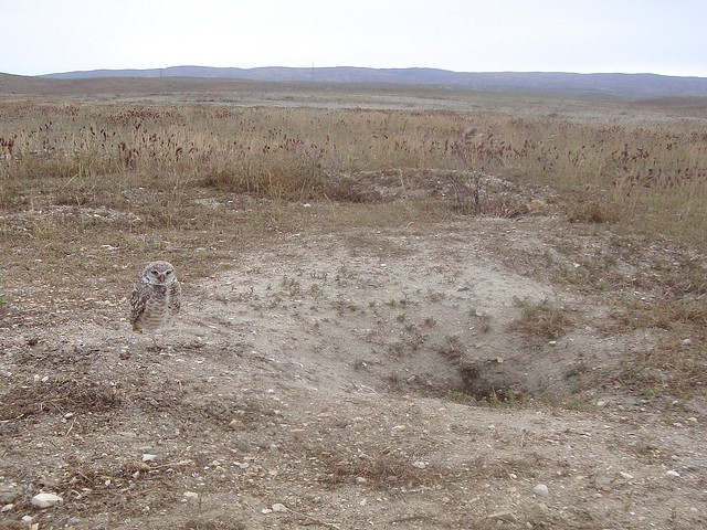 burrowing owls 1