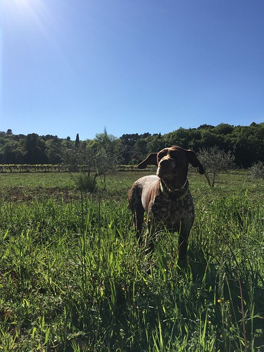 Dog at Château Unang vineyard in Malemort-du-Comtat