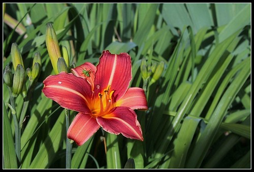 Hémérocalle 'Neyron Rose' (6)